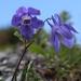 Aquilegia flabellata - Photo (c) Alpsdake,  זכויות יוצרים חלקיות (CC BY-SA)