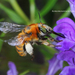 Common Digger Bees - Photo (c) Home Mountain, some rights reserved (CC BY-NC)