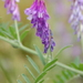 Hairy Vetch - Photo (c) Sam, some rights reserved (CC BY-NC)