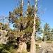 Juniperus grandis - Photo (c) Sam McNally, algunos derechos reservados (CC BY-NC)