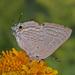 Deudorix antalus - Photo (c) Jerry Oldenettel,  זכויות יוצרים חלקיות (CC BY-NC-SA)