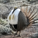 Greater Sage-Grouse - Photo (c) Dan Dzurisin, some rights reserved (CC BY-NC-ND)