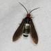 Hestiochora furcata - Photo (c) Marilyn Hewish,  זכויות יוצרים חלקיות (CC BY-NC)