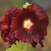 Hollyhocks - Photo (c) calebcam, some rights reserved (CC BY-NC)