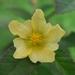 Sida acuta - Photo (c) Soh Kam Yung,  זכויות יוצרים חלקיות (CC BY-NC)