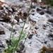 Allium paniculatum - Photo (c) Динасафина, algunos derechos reservados (CC BY-NC)
