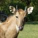 Antílopes Taurinos, Búfalos Y Vacas - Photo (c) Thomas Schreiter, algunos derechos reservados (CC BY-NC)
