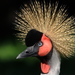 Crowned Cranes - Photo (c) M Kuhn, some rights reserved (CC BY-NC-SA)