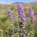 Phacelia sericea - Photo (c) Noah Strycker, algunos derechos reservados (CC BY-NC)