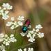Anthaxia ignipennis - Photo (c) Martin Galli, osa oikeuksista pidätetään (CC BY-NC)