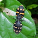 Therea nuptialis - Photo (c) Subhajit Roy, alguns direitos reservados (CC BY-NC-ND)