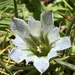 Gentiana newberryi - Photo (c) grnleaf, algunos derechos reservados (CC BY-NC)