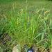 Carex muskingumensis - Photo (c) Lee Elliott, algunos derechos reservados (CC BY-NC-SA)