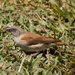 Northern Grey-headed Sparrow - Photo (c) cesare dolzani, some rights reserved (CC BY-NC-SA)
