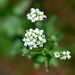 Hoary Alyssum - Photo (c) Joseph Kurtz, some rights reserved (CC BY-NC)