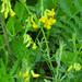 Lathyrus pratensis - Photo (c) Kari Pihlaviita,  זכויות יוצרים חלקיות (CC BY-NC)
