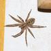 Zoropsis spinimana - Photo (c) albissers_grund, μερικά δικαιώματα διατηρούνται (CC BY-NC)
