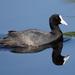 אגמית מצויה - Photo (c) David Cook Wildlife Photography,  זכויות יוצרים חלקיות (CC BY-NC)