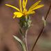 Pyrrocoma racemosa pinetorum - Photo (c) Ken-ichi Ueda, algunos derechos reservados (CC BY)