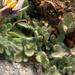 Erigeron vagus - Photo (c) matsonburger, μερικά δικαιώματα διατηρούνται (CC BY-NC)