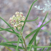 Algodoncillo Cuerno de Antílope - Photo (c) Lee Hoy, algunos derechos reservados (CC BY-NC-ND)