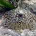 Calappa ocellata - Photo (c) Kent Miller, alguns direitos reservados (CC BY-ND)