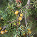 Eastern Prickly Juniper - Photo (c) Ranko, some rights reserved (CC BY)