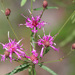 Narrow Leaf Ironweed - Photo (c) Mary Keim, some rights reserved (CC BY-NC-SA)
