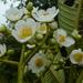 Saurauia montana - Photo (c) Eduardo Chacón-Madrigal, algunos derechos reservados (CC BY)