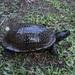 Gulf Coast Box Turtle - Photo (c) Dawson, some rights reserved (CC BY-SA)
