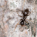 Black Garden Ant - Photo (c) Marina Gorbunova, some rights reserved (CC BY-NC)