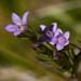 Gentianella amarella - Photo (c) Ken-ichi Ueda, μερικά δικαιώματα διατηρούνται (CC BY)