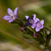Autumn Gentian - Photo (c) Ken-ichi Ueda, some rights reserved (CC BY)