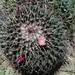 Mammillaria magnimamma - Photo (c) UPPP,  זכויות יוצרים חלקיות (CC BY-NC)