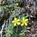 Hypericum geminiflorum simplicistylum - Photo (c) jodyhsieh, some rights reserved (CC BY-NC)