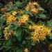 Tristaniopsis guillainii guillainii - Photo (c) juju98, osa oikeuksista pidätetään (CC BY-NC)