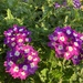 Glandularia × hybrida - Photo (c) summer516658, algunos derechos reservados (CC BY-NC)