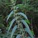 Urtica dioica gracilis - Photo (c) Rob Curtis, algunos derechos reservados (CC BY-NC-SA)