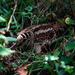 Scolopax - Photo (c) derek, algunos derechos reservados (CC BY-NC-SA)