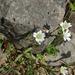 Cerastium beeringianum - Photo (c) Chloe and Trevor, μερικά δικαιώματα διατηρούνται (CC BY-NC)