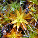 Syntrichia antarctica - Photo (c) Geoffrey Cox, some rights reserved (CC BY)