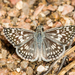 Desert Checkered-Skipper - Photo (c) Lee Hoy, some rights reserved (CC BY-NC-ND)