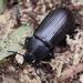 Escarabajo Negruzco - Photo (c) gbohne, algunos derechos reservados (CC BY-SA)