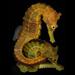 Hippocampus erectus - Photo (c) Robertson Ross, alguns direitos reservados (CC BY-NC-SA)