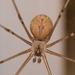 Araña de Bodega Jaspeada - Photo (c) Grant Wang, algunos derechos reservados (CC BY-NC)