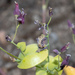 Streptanthus tortuosus - Photo (c) Don Loarie, algunos derechos reservados (CC BY)