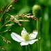 Cylindrical Thimbleweed - Photo (c) Susan Blayney, some rights reserved (CC BY)