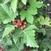 Rubus crataegifolius - Photo (c) Paul B., algunos derechos reservados (CC BY-NC-ND)
