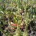 Artemisia rupestris - Photo (c) Magazova Lubov, algunos derechos reservados (CC BY-NC)