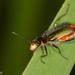 Malachius australis - Photo (c) Sarah Gregg, algunos derechos reservados (CC BY-NC-SA)